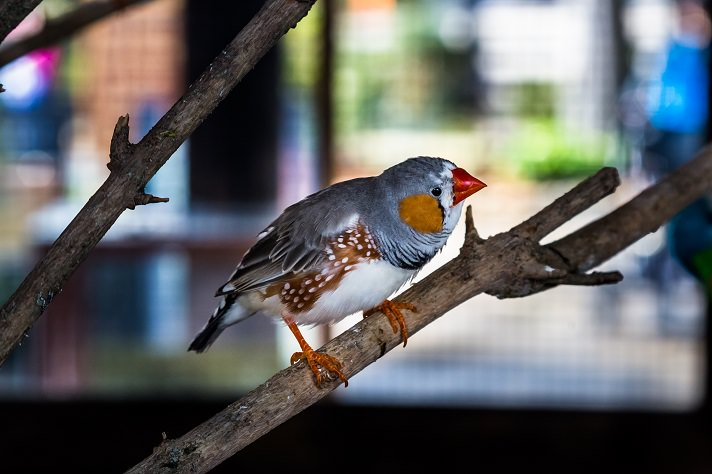 Interesting Facts of Finches as Popular Pet Bird