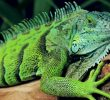 How To Take Care of Iguana As Pet At Home