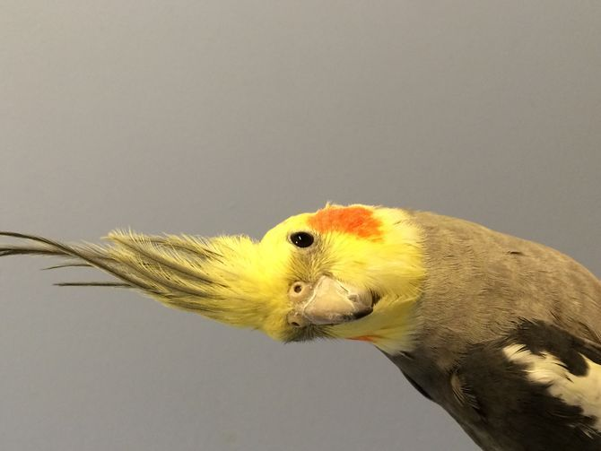 happy-cockatiel