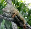 3 Simple Steps To Create The Ideal Iguana Habitats at Home