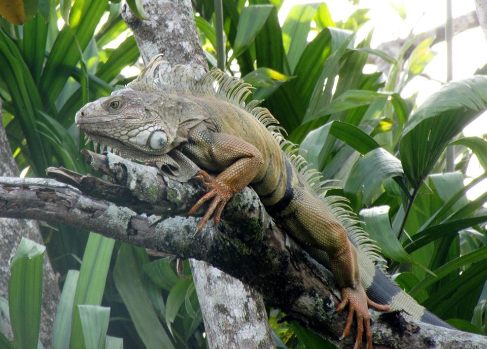iguana-habitats