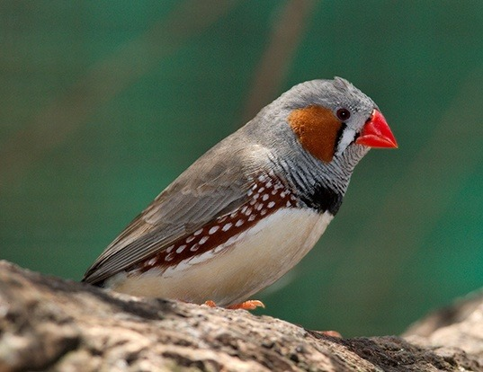Life Span of Finches Between In The Wild and Keeping at Home