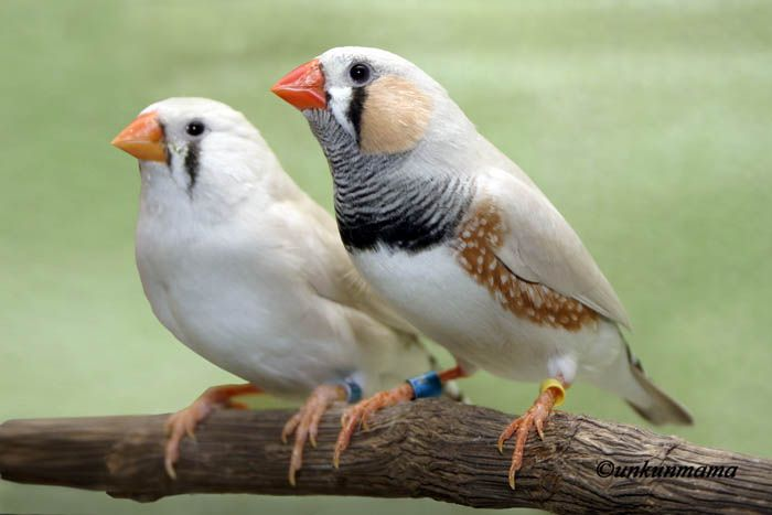 male-and-femal-finches
