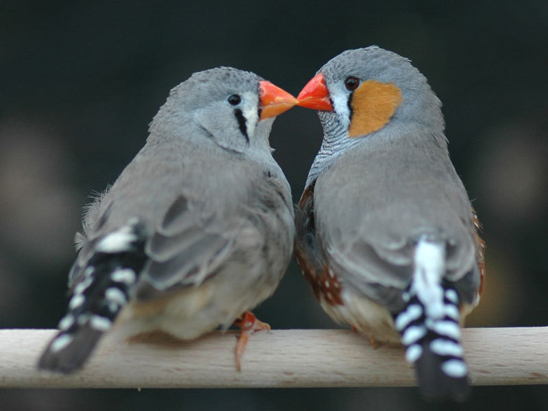 6 Differences between Male and Female Finches