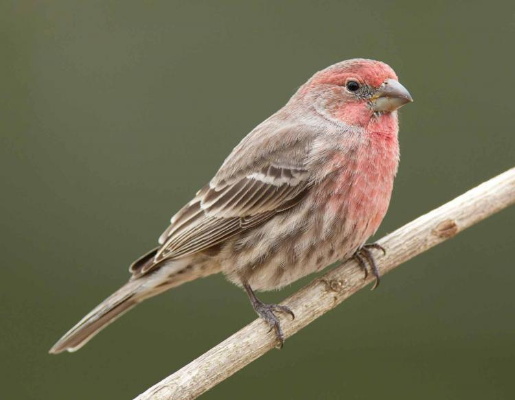 4 Benefits of Keeping A Male Finch Bird