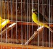 3 Best Type of Singing Finches You Must Know