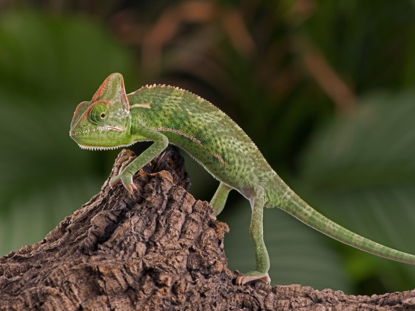 3 Steps to Breed Veiled Chameleon