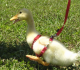 4 Surprising Benefit Of Taking Duck As Your Pet At Home
