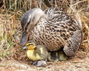 wild-duckling