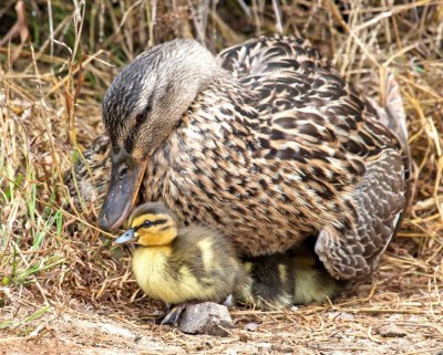 4 Tips To Raise Wild Ducklings At Your Backyard