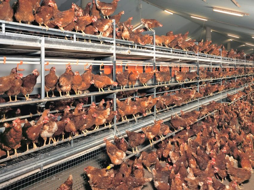The Easy Guide to Start Layer Poultry Farming for Beginners