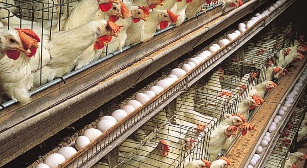 9 Facts of Layer Chickens that You Must Know before You Start Farming Them