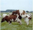 How To Recognize Estrus Disorders In Cow