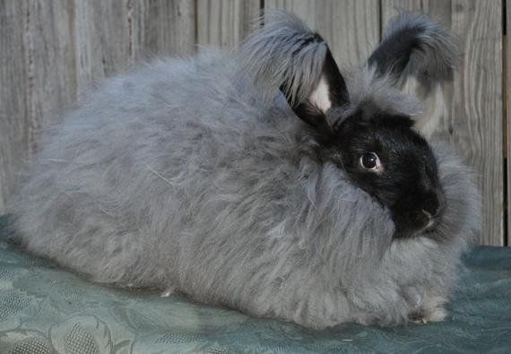 6 Recommended Food for Angora Rabbit to Stay Healthy