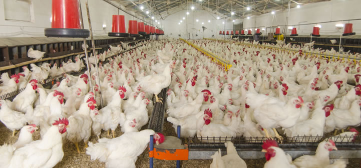 8 Challenges When Starting a Poultry Farming