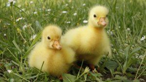 baby-duck-treatment
