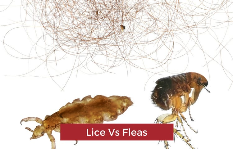 The Difference Between Chicken Fleas and Poultry Lice (Important to Know!)
