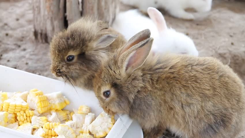 4 dangers of giving corn to your rabbit