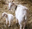 5 Easy Steps to Assist A Goat Giving Birth in Homestead