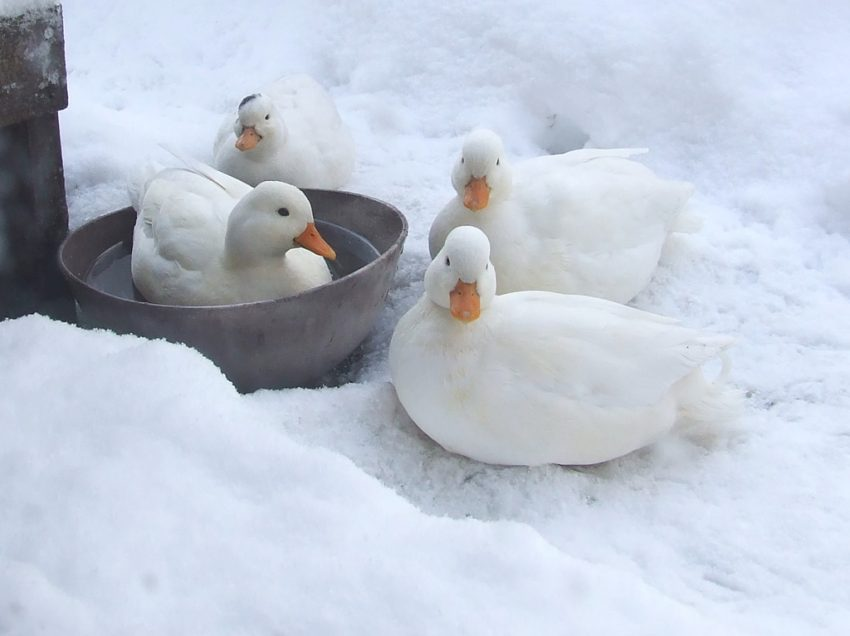 How To Take Care For Ducks In Cold Winter Time