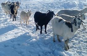4 Guaranteed Tips to Take Care of Goat in Severe Winter Time