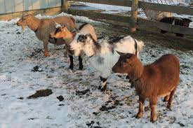 5 Tips to Take Care of Goat in The Winter