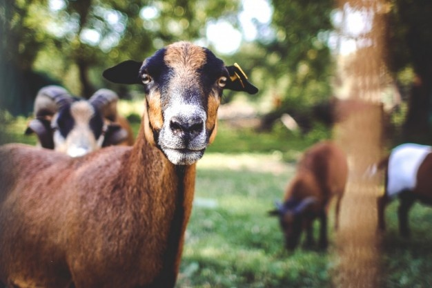 6 Ways to Breed Goats for Milk Productions