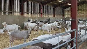 8 Benefits of Raising Goat Farm Business