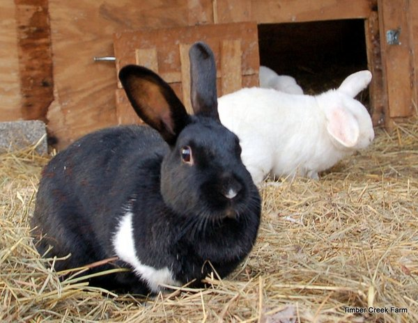 2 Important Differences Of Pet Rabbit And Farm Rabbit