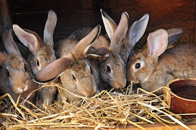 How To effectively Raise Rabbits For Meat