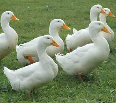 4 recommended duck breeds to raise for meat
