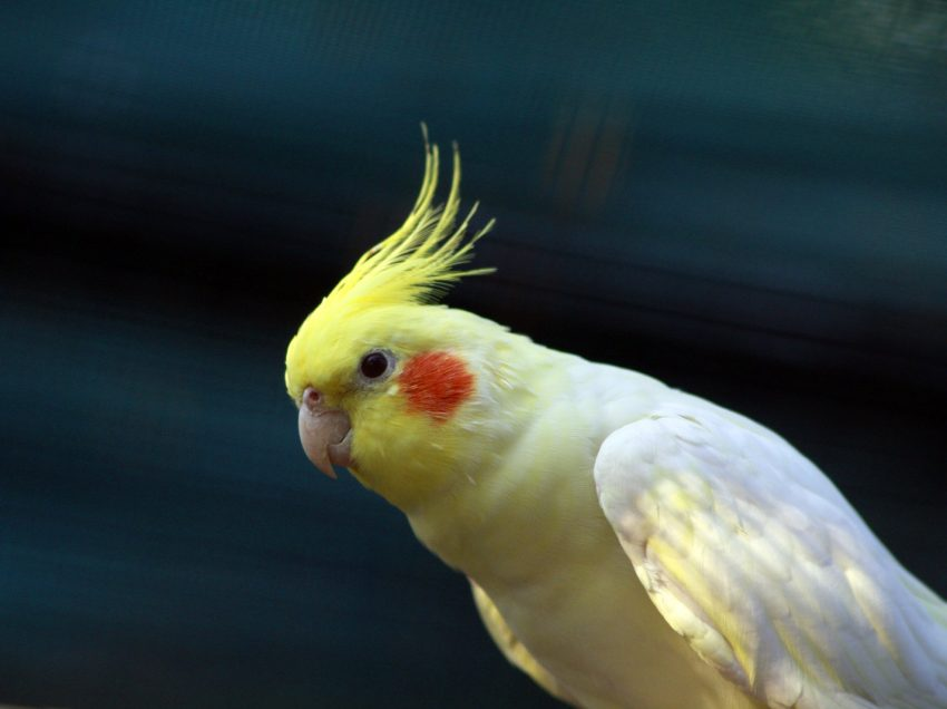How to Train Your Cockatiel to Talk Faster
