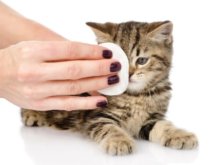 6 Simple Steps To Clean Your Cat's Eyes At Home