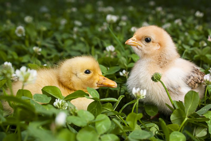 6 things to consider if you want to raise ducks and chickens in the same coop