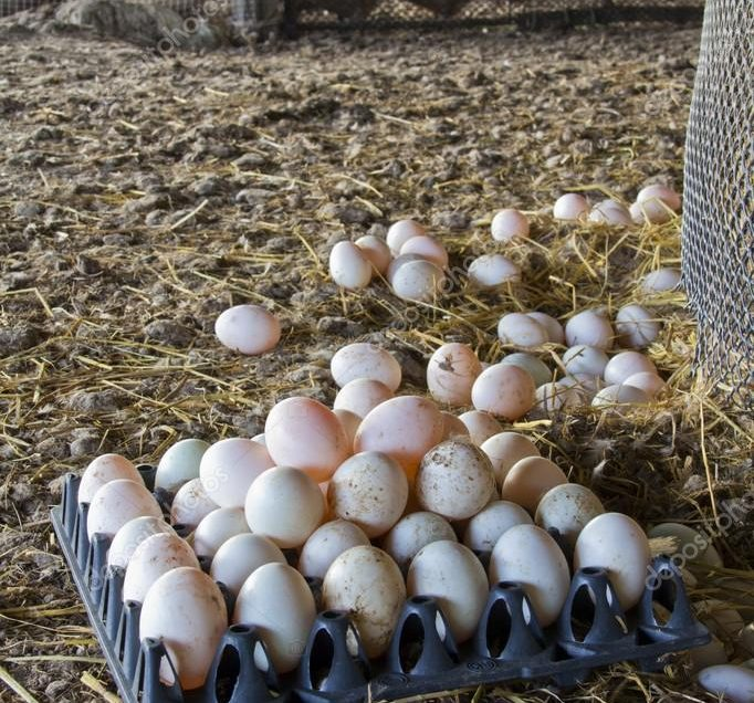How to manage ducks for better eggs production