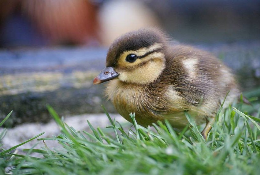 2 ways to care for rescued baby ducks