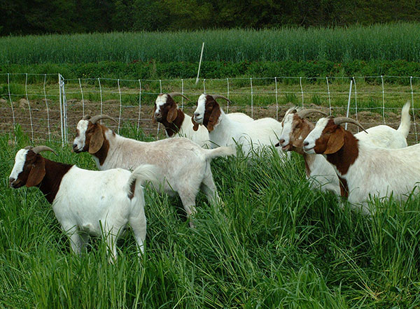 Recommended Forage Systems for Goat Farm