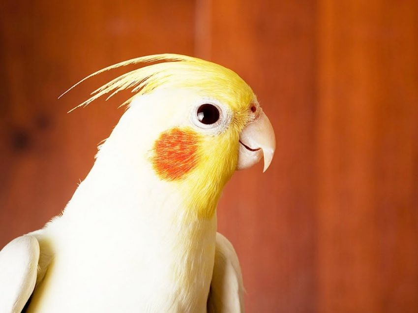 2 Ways to Have Fun With Your Pet Cockatiel