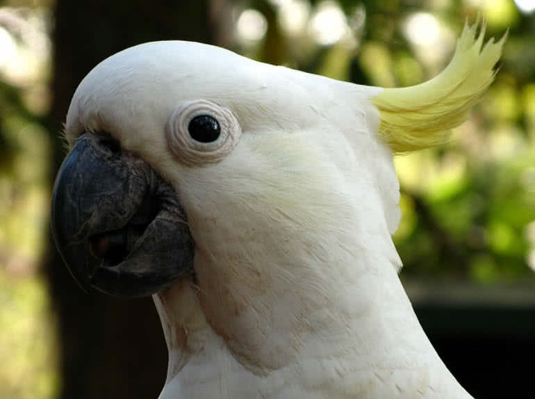 Popular Cockatoo Types You Can Keep As Pets