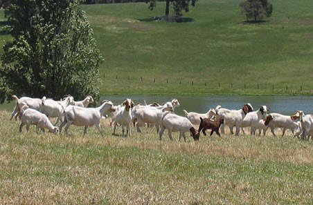 How to Set Up Best Pasture Land for Goats