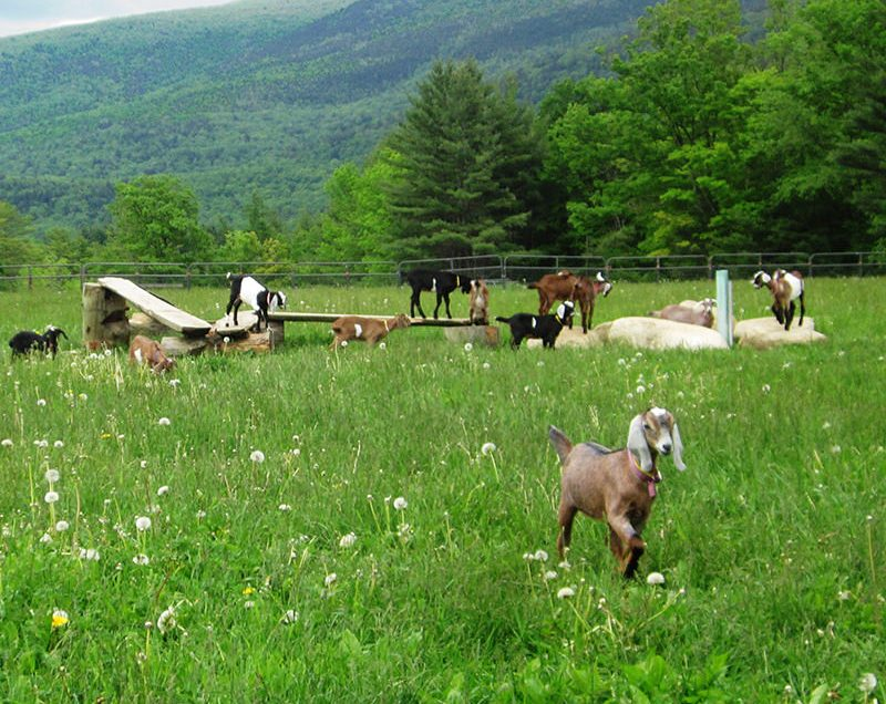 How to Effectively Take Care of Goats on Pasture