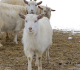 5 Successful Tips to Care for Goat in Autumn Season