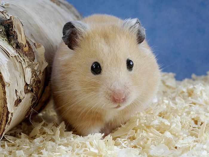 Golden Hamster Vs. Black Hamster, Which is Hard To Care of?