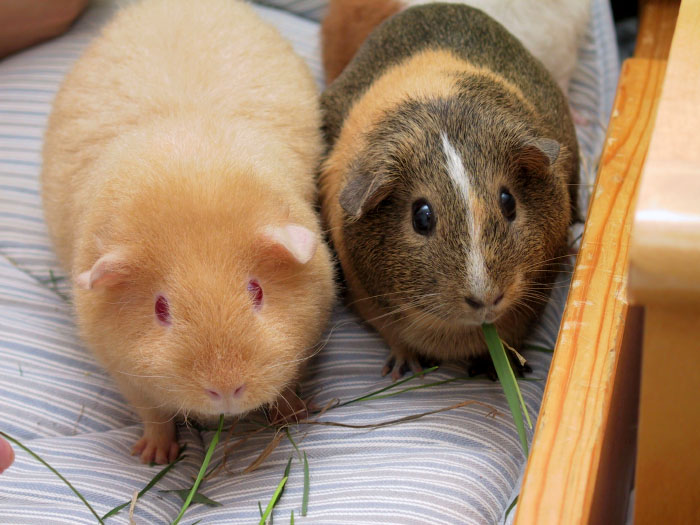 How to Differentiate the Guinea Pig and Hamster?