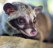 How to Care for Your Civets During the Rainy Season.