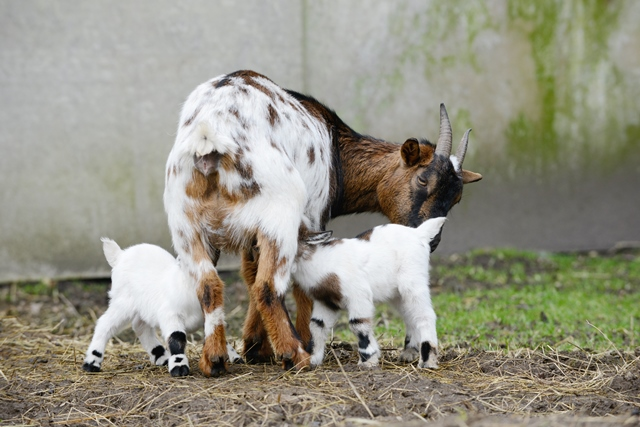 Causes of A Goat's Pregnancy Loss and How to Prevent It