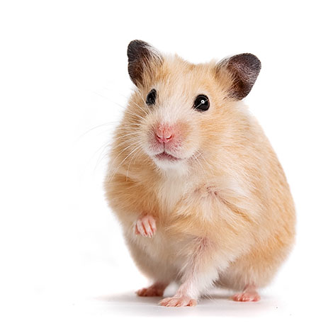 What Makes Syrian Hamster Become the Most Special Hamster?