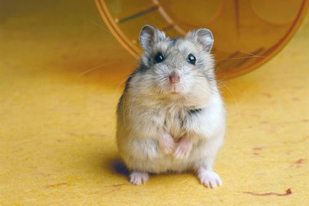 Crosscheck These Things Before You Consider to Buy Hamster