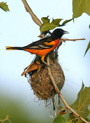 Baltimore Oriole Nesting Habit That You Should Know