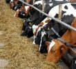4 Types of Cattle Feed for Healthy Dairy Calves